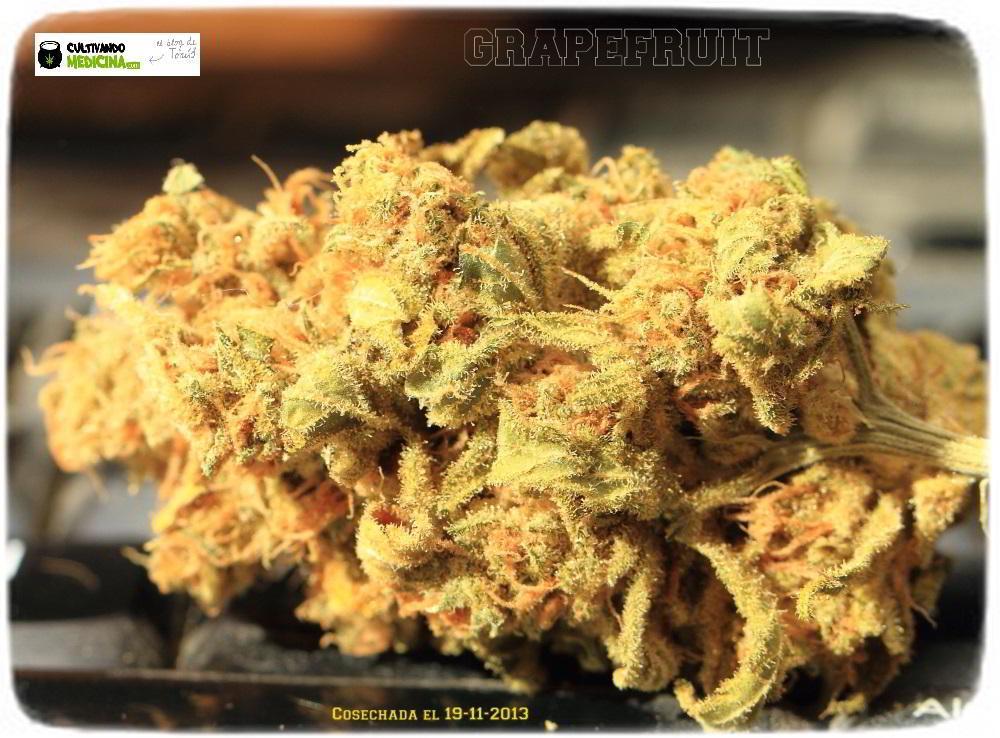 1.5- En breve el cultivo de marihuana de semillas feminizadas cambia a floración 3