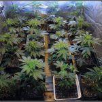 1.7- 6 días a 12/12: Vista general del cultivo de marihuana Venus Genetics