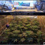 1.9- 15 días a 12/12: cogollines en las plantas feminizadas por doquier
