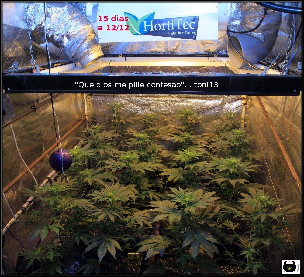 1.9- 15 días a 12/12: cogollines en las plantas feminizadas por doquier 1