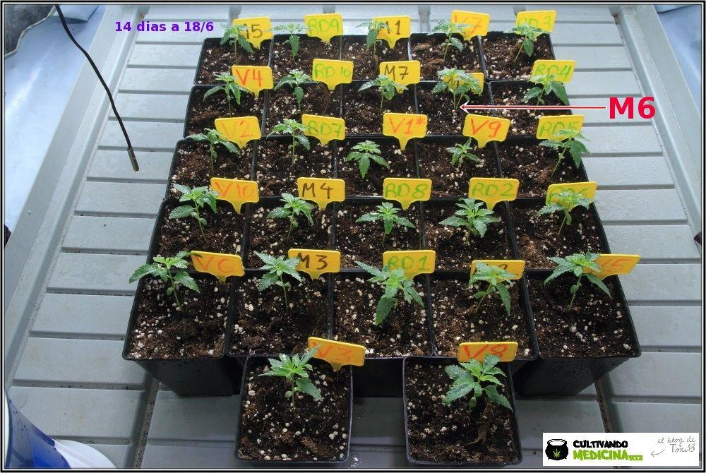 Plantas de marihuana en crecimiento de cultivo de interior de semillas regulares