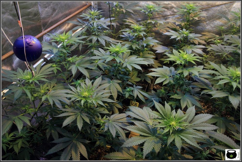 1.9- 15 días a 12/12: cogollines en las plantas feminizadas por doquier 2