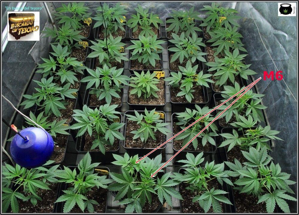 Plantas de marihuana en crecimiento de cultivo de interior de semillas regulares 3