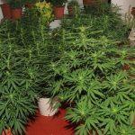 Cómo aplicar una tabla de nutrición en cultivos de exterior de marihuana