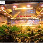 1.12- 31 días a 12/12: actualización general cultivo de marihuana Venus Genetics
