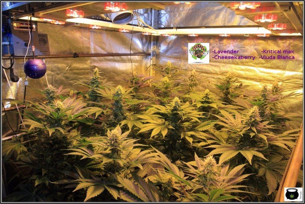 31 días a 12/12: actualización general del cultivo de marihuana Venus Genetics 2