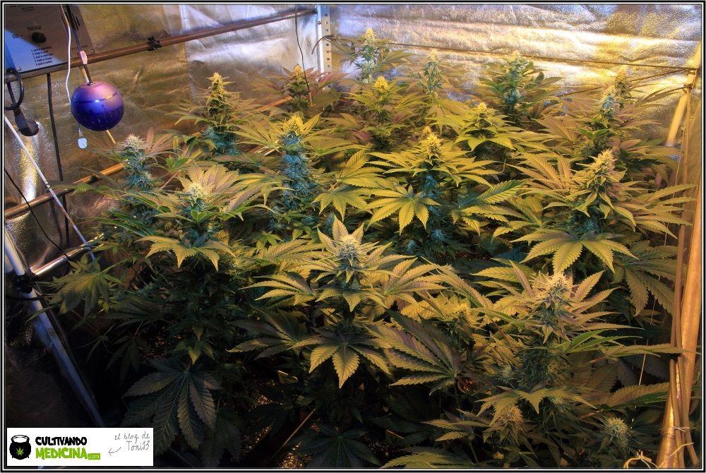 31 días a 12/12: actualización general del cultivo de marihuana Venus Genetics 3