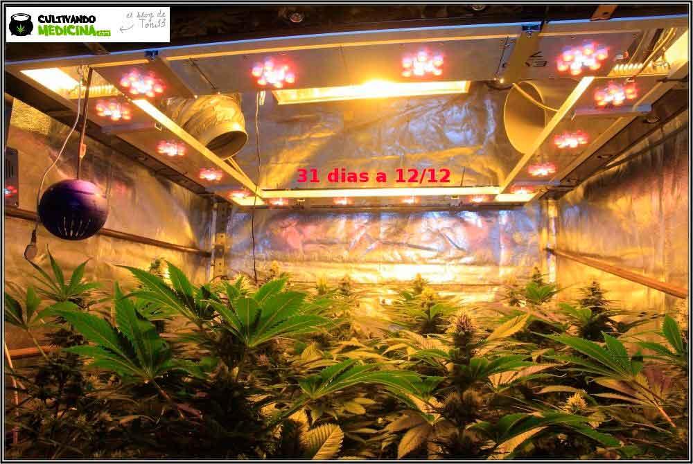 31 días a 12/12: actualización general del cultivo de marihuana Venus Genetics 1