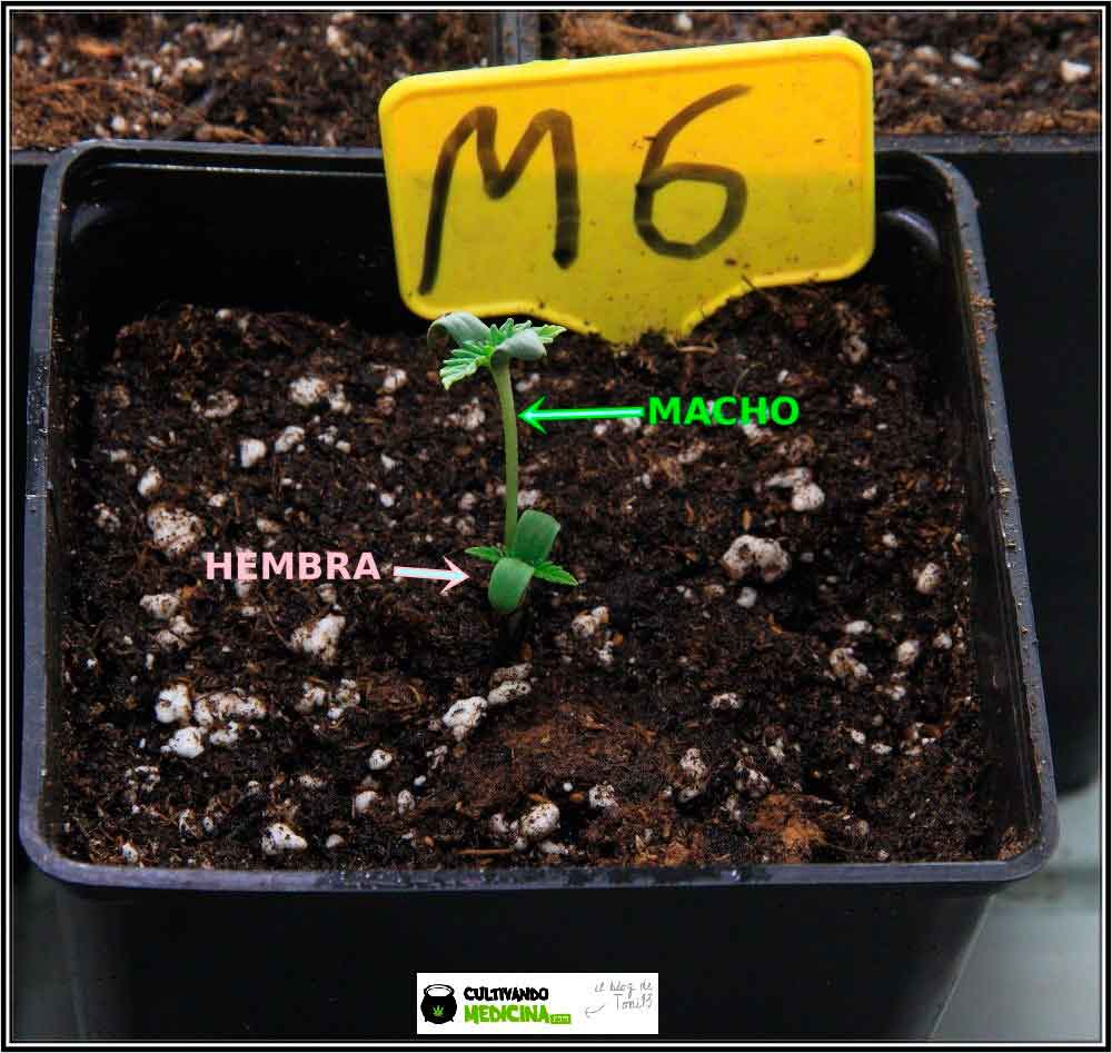 Plántula hembra y macho de semillas de marihuana