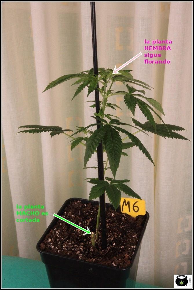 Planta hembra sigue creciendo y planta macho es eliminada