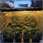 1.8- 10 días a 12/12: el cultivo de marihuana empieza a coger forma
