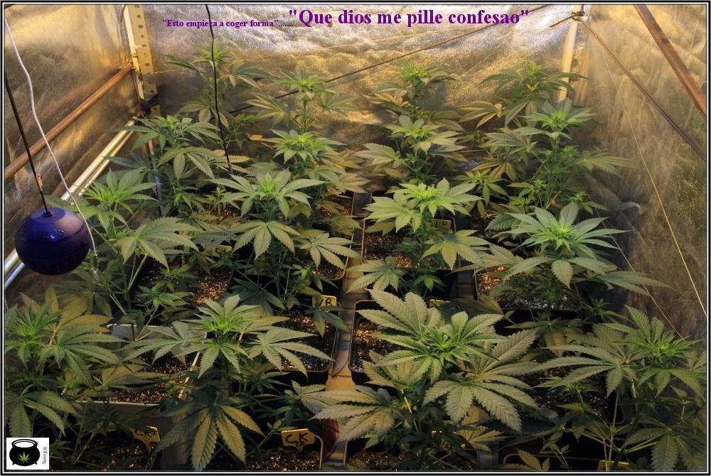 1.8- 10 días a 12/12: el cultivo de marihuana empieza a coger forma 2