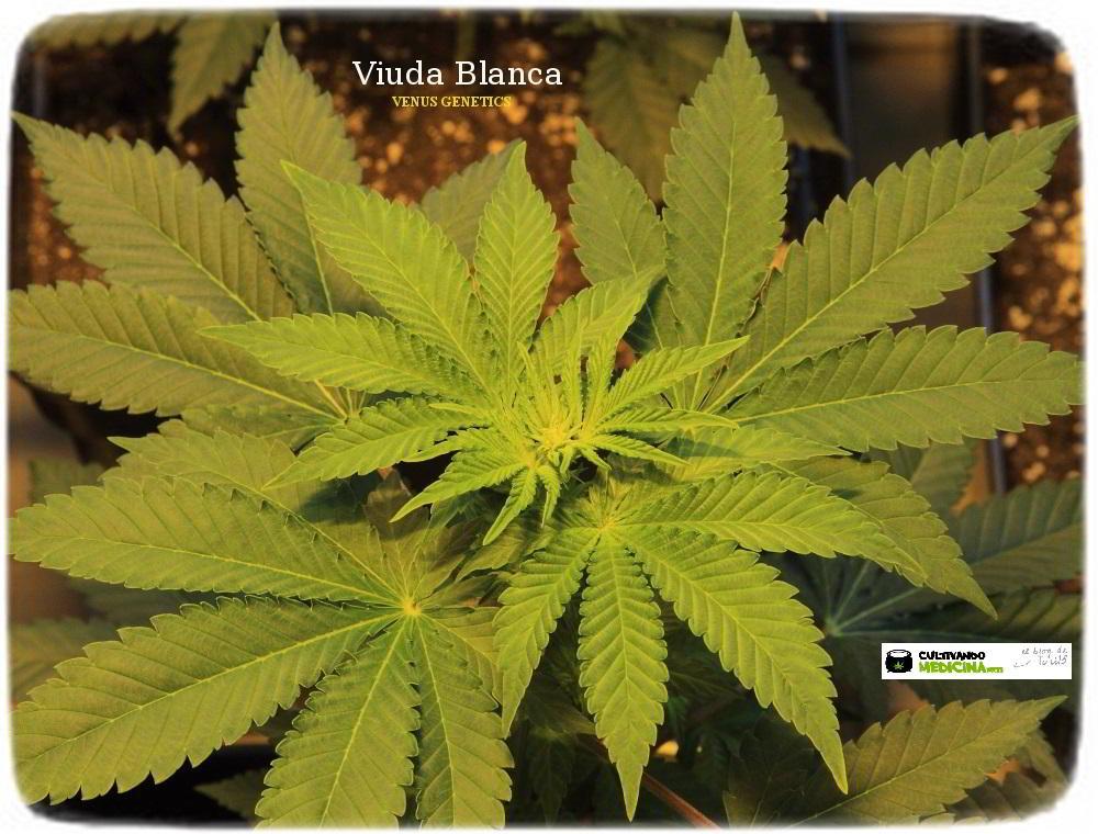 1.8- 10 días a 12/12: el cultivo de marihuana empieza a coger forma 3
