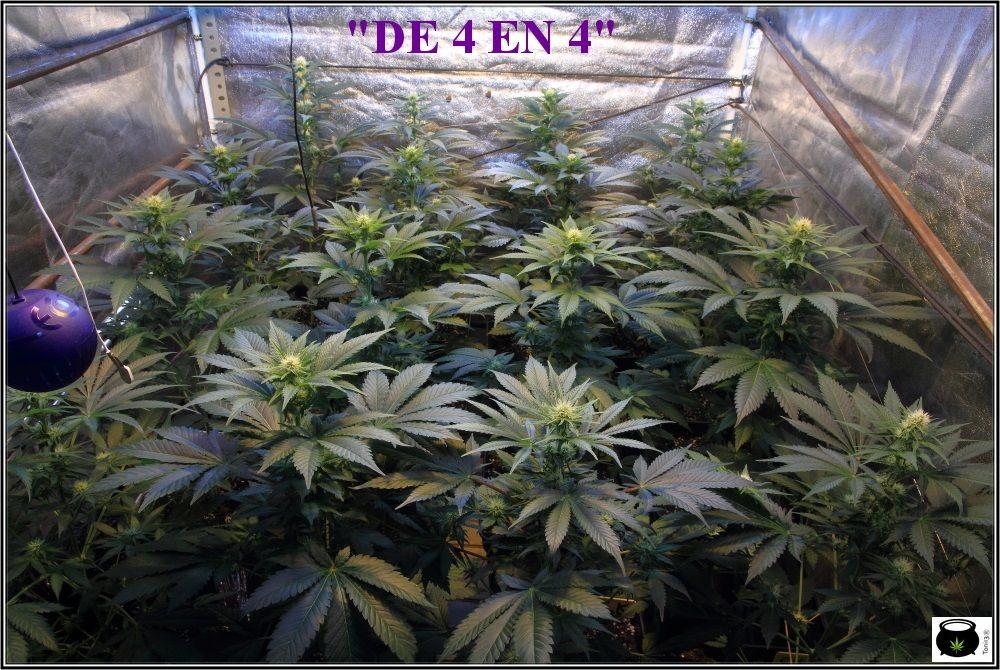 1.10- 20 días a 12/12: voy a terminar la 3º semana de floración del cultivo