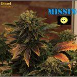 1.18- 59 días a 12/12: Variedad de marihuana NYC diesel, a seguir buscando