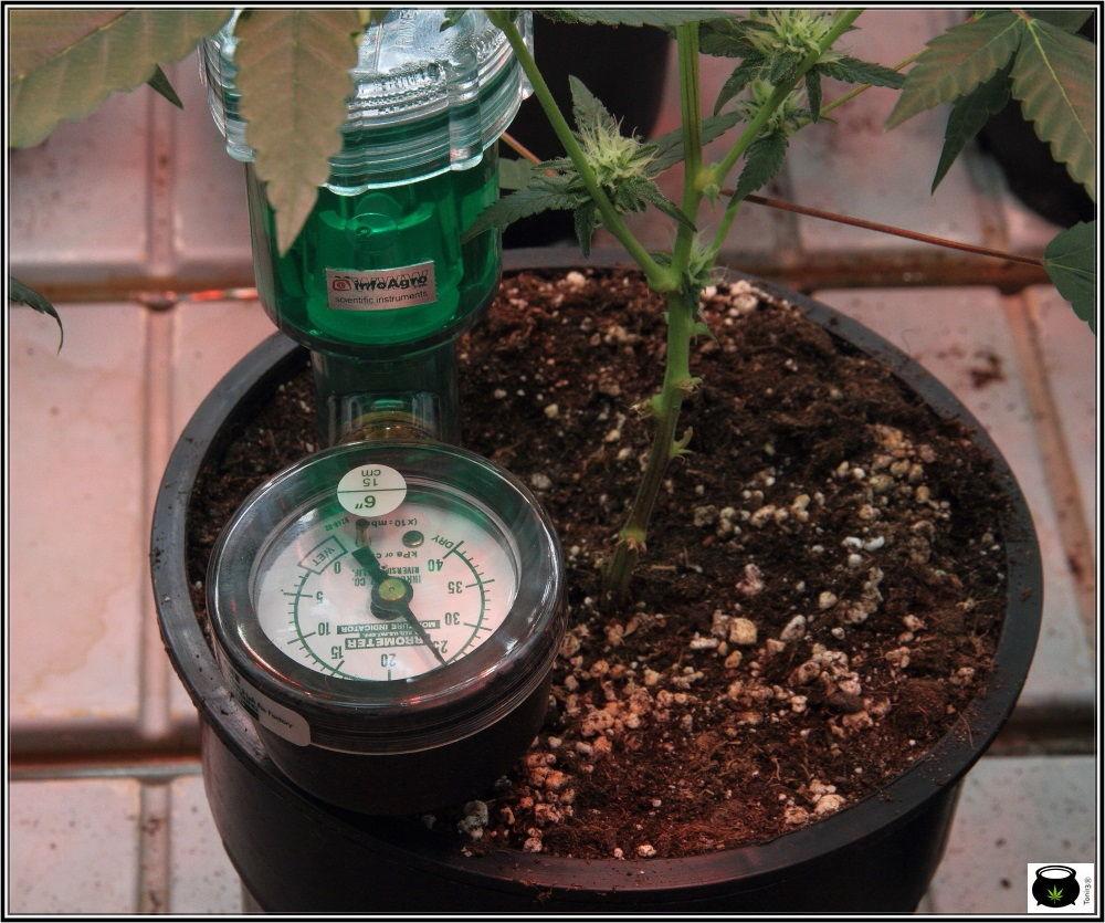 Raíz artificial en primer plano en planta de marihuana