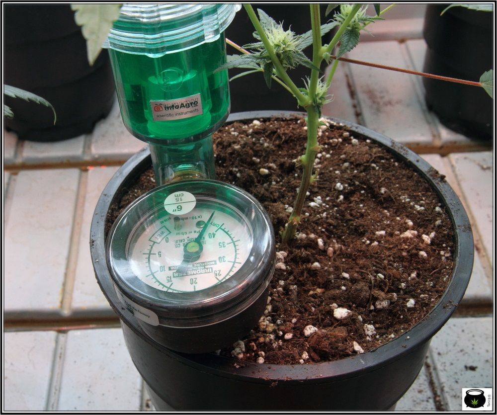 Medición con tensiómetro en plantas de marihuana