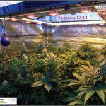 1.14- 45 días a 12/12: Los cogollos de marihuana empiezan a engordar
