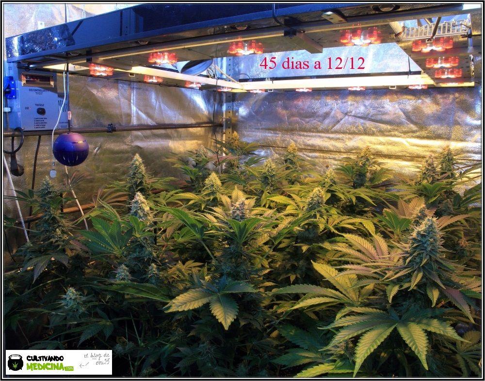 1.14- 45 días a 12/12: Los cogollos de marihuana empiezan a engordar 1