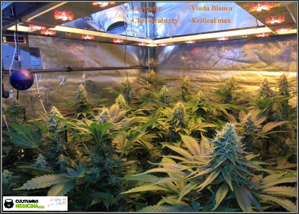 1.14- 45 días a 12/12: Los cogollos de marihuana empiezan a engordar 2