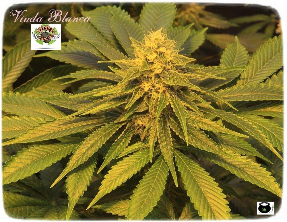 1.14- 45 días a 12/12: Los cogollos de marihuana empiezan a engordar 3
