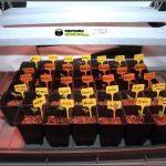 Consejos para plantar eficientemente una semilla de marihuana