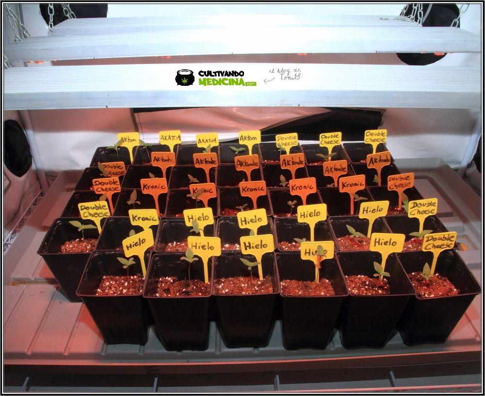 semillas de marihuana plantadas en sustrato