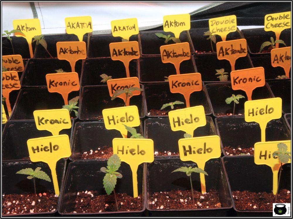 Plantulas de marihuana unos días después de plantar las semillas