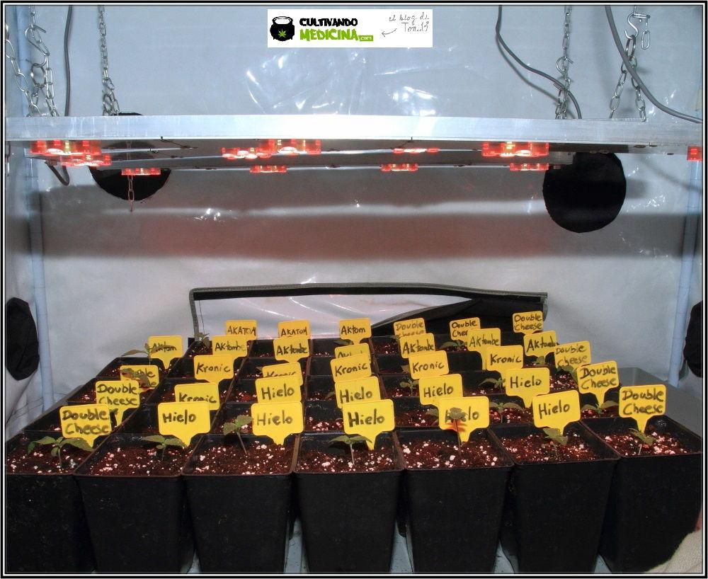 Plantas pequeñas de marihuana con el sustrato ya lleno