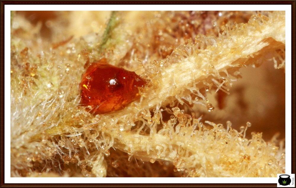 Melaza de cannabis - Rareza cannábica