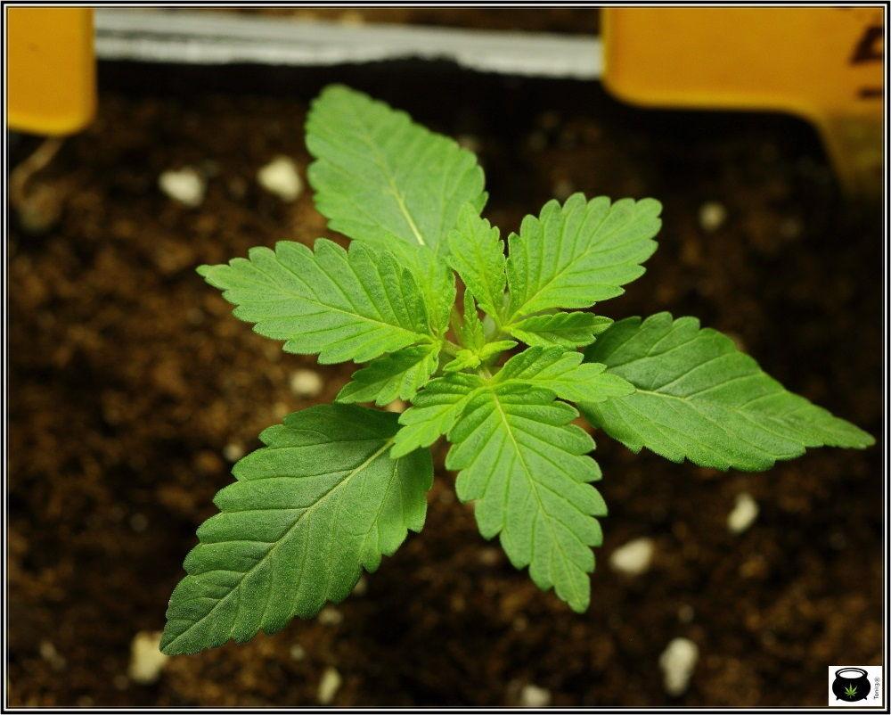 Plántula de marihuana con tres cotiledones - rareza cannabica 2