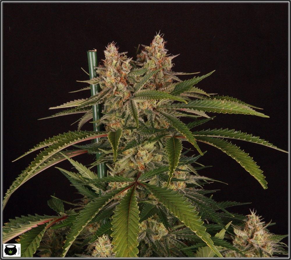 Punta doble de la variedad de marihuana Matanuska - Rareza cannábica