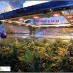 1.15- 52 días a 12/12: habrá color en estas plantas de marihuana