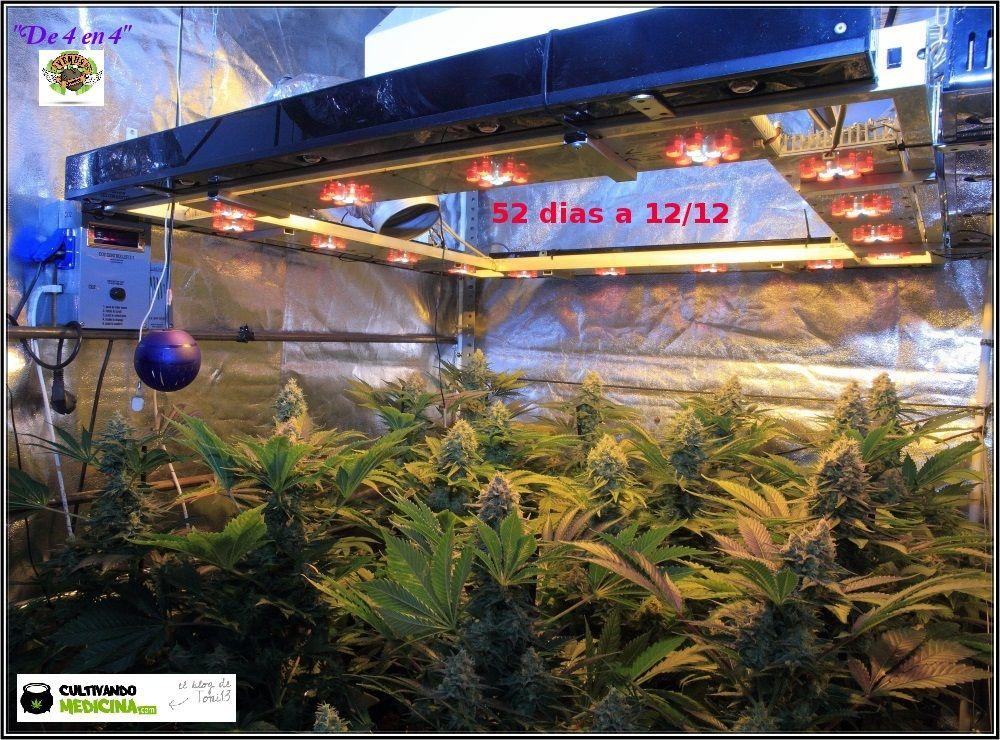 1.15- 52 días a 12/12: habrá color en estas plantas de marihuana 1