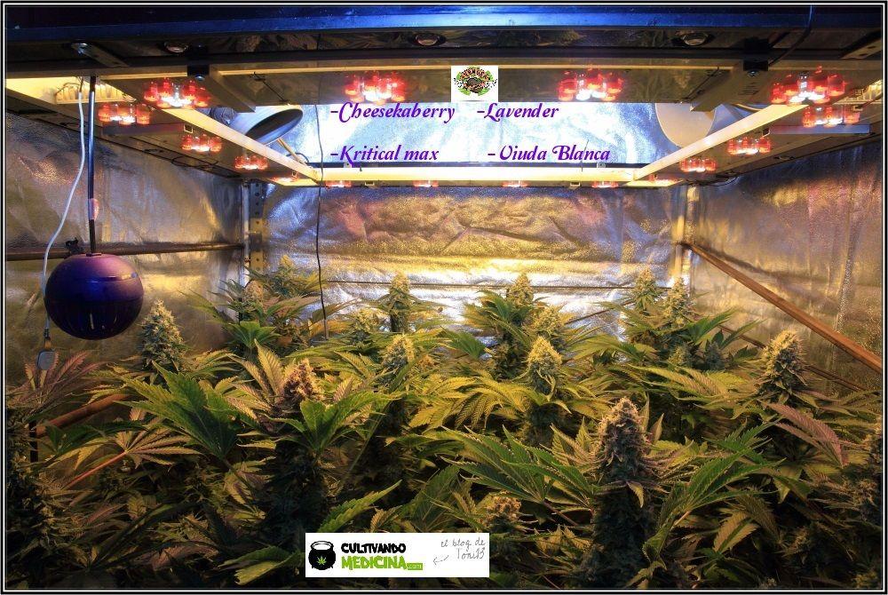 1.15- 52 días a 12/12: habrá color en estas plantas de marihuana 2
