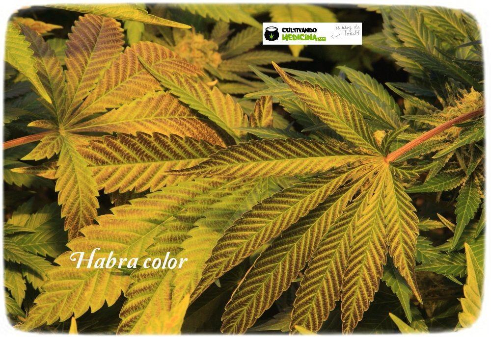1.15- 52 días a 12/12: habrá color en estas plantas de marihuana 3