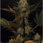 1.16- 53 días a 12/12: primeras fotografías de estudio del cultivo de marihuana