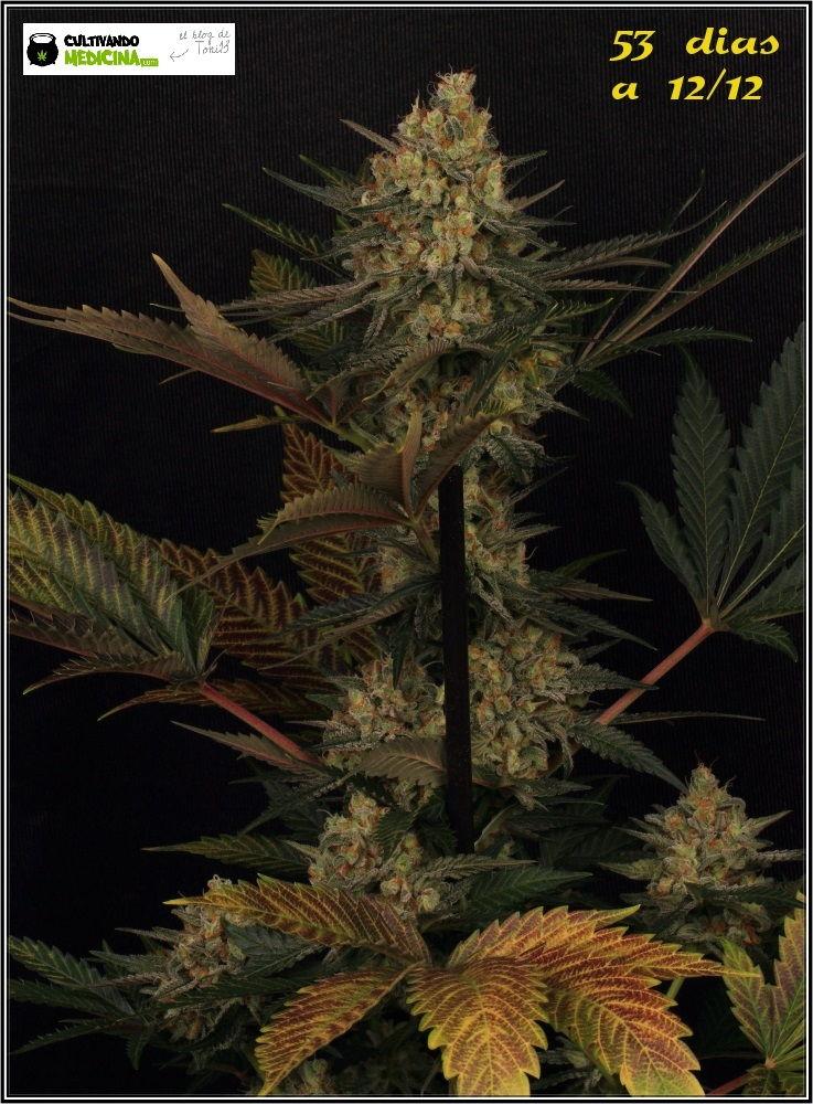 53 días a 12/12: primeras fotografías de estudio del cultivo de marihuana 1