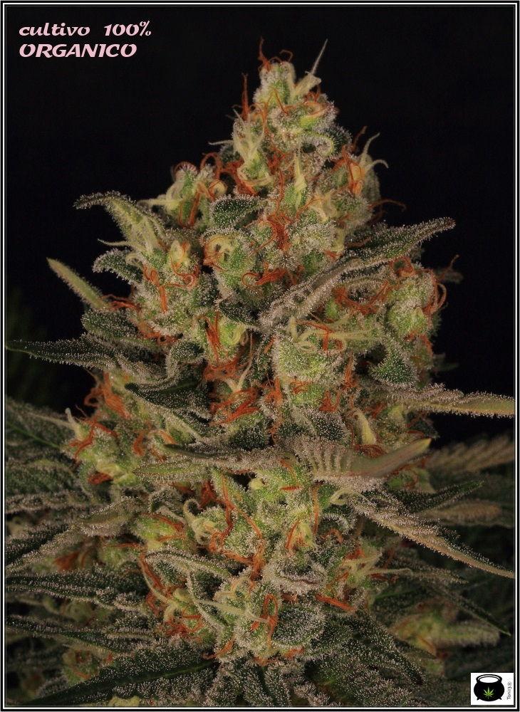 53 días a 12/12: primeras fotografías de estudio del cultivo de marihuana 2