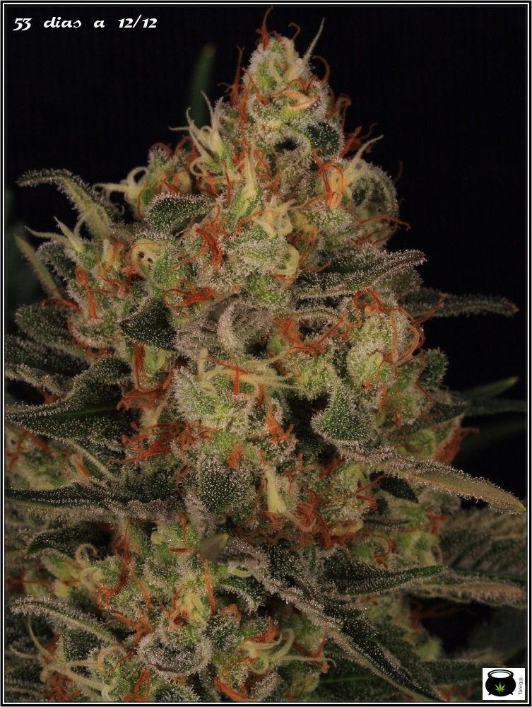53 días a 12/12: primeras fotografías de estudio del cultivo de marihuana 3