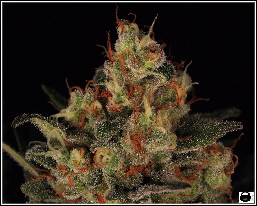 53 días a 12/12: primeras fotografías de estudio del cultivo de marihuana 4