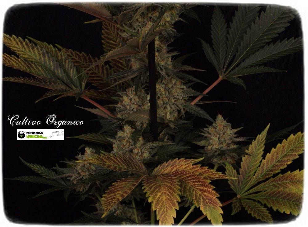 53 días a 12/12: primeras fotografías de estudio del cultivo de marihuana 5