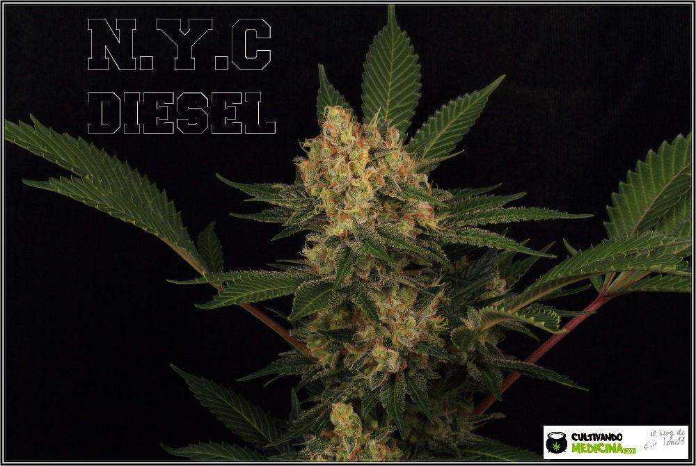 1.18- 59 días a 12/12: Variedad de marihuana NYC diesel, a seguir buscando 3