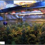 1.19- 60 días a 12/12: vista general del cultivo de marihuana Venus Genetics