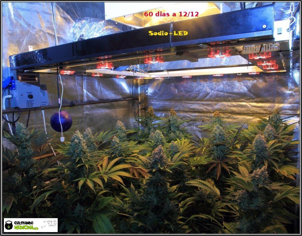 1.19- 60 días a 12/12: vista general del cultivo de marihuana Venus Genetics 1