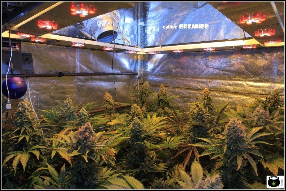 1.19- 60 días a 12/12: vista general del cultivo de marihuana Venus Genetics 2