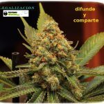 1.21- Un cultivo de marihuana que termina y otro que empieza