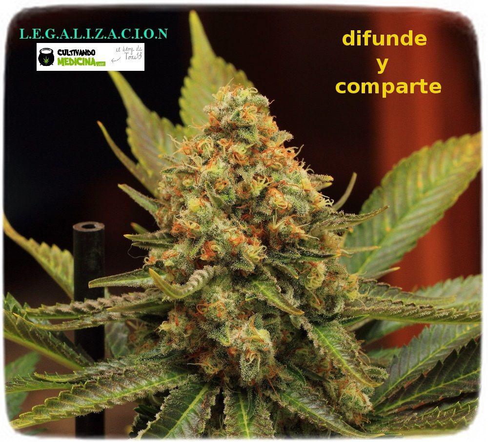 1.21- Un cultivo de marihuana que termina y otro que empieza 1