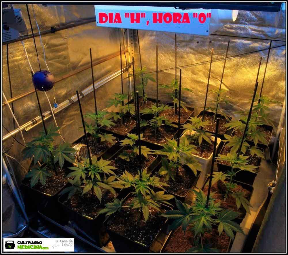 """2.1- Dia """"H"""", hora """"0"""": cambio a 12/12, comienza floración del cultivo 1"""