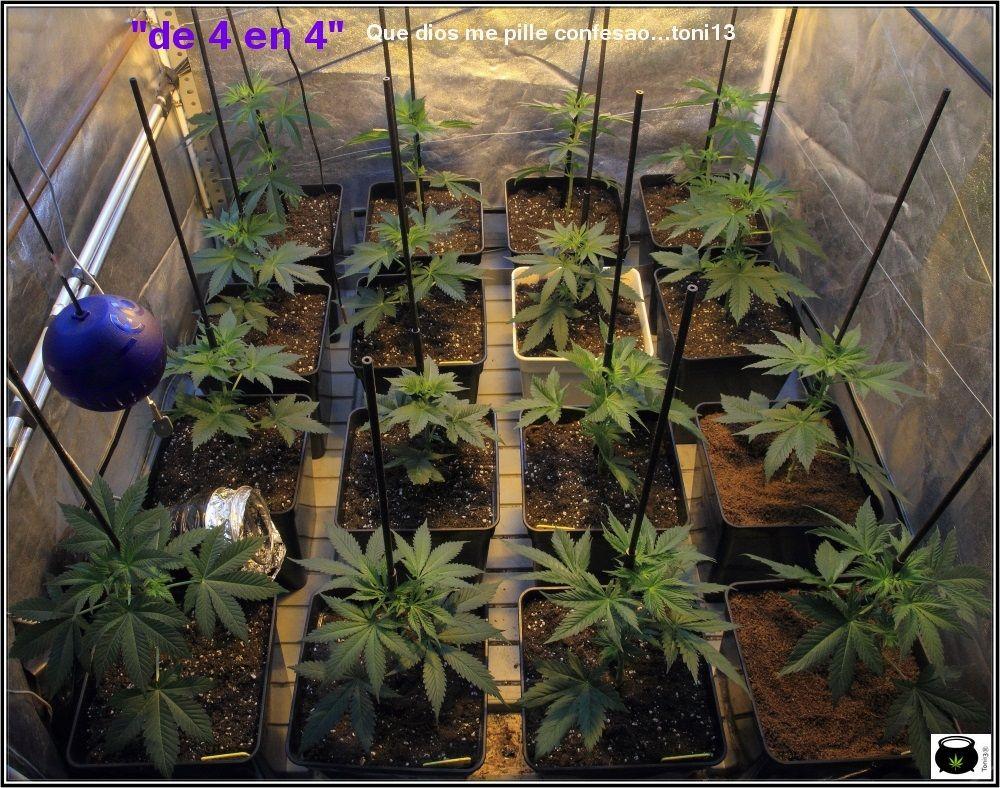 """2.1- Dia """"H"""", hora """"0"""": cambio a 12/12, comienza floración del cultivo 2"""